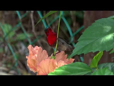 Temminck's Sunbird Langkawi   Luuk Punt   171231