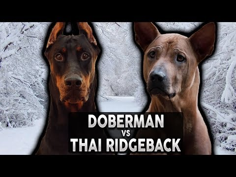 DOBERMAN VS THAI RIDGEBACK! The Best Guard Dog Breed For First Time Owners!