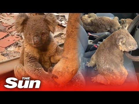 Car full of koalas rescued from Australia bushfires