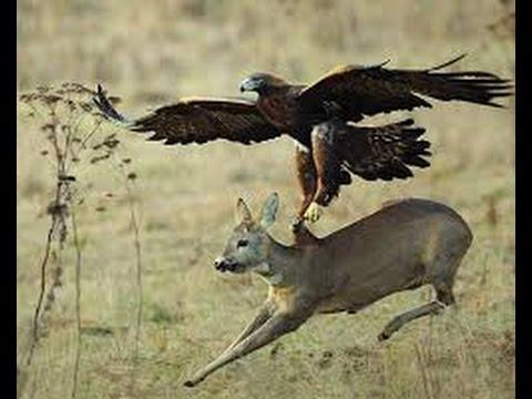 Male Lion Vs Crocodile new 2015 Eagle Kills Snake ☆ Best ...