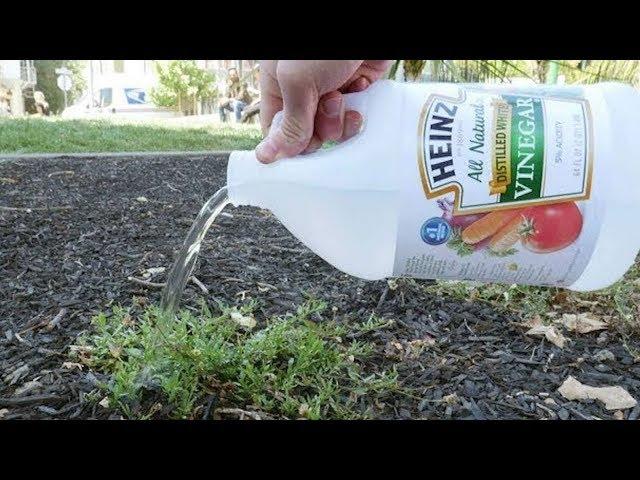 Schau was passiert, wenn du Essig im Garten benutzt!