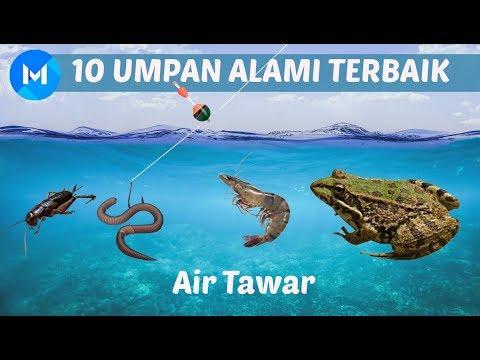 10 UMPAN MANCING ALAMI TERBAIK - AIR TAWAR