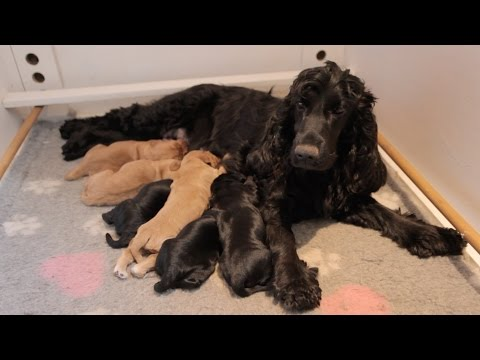 Cute Cocker Spaniel Puppies | One Hour Old