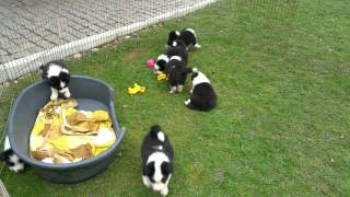 Border collie puppies 5 weeks old :)