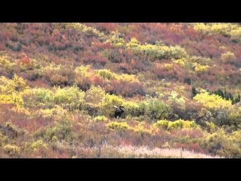 World record moose??