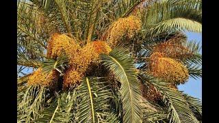 Производство сапропелевых почвосмесей для выращивания финиковых пальм