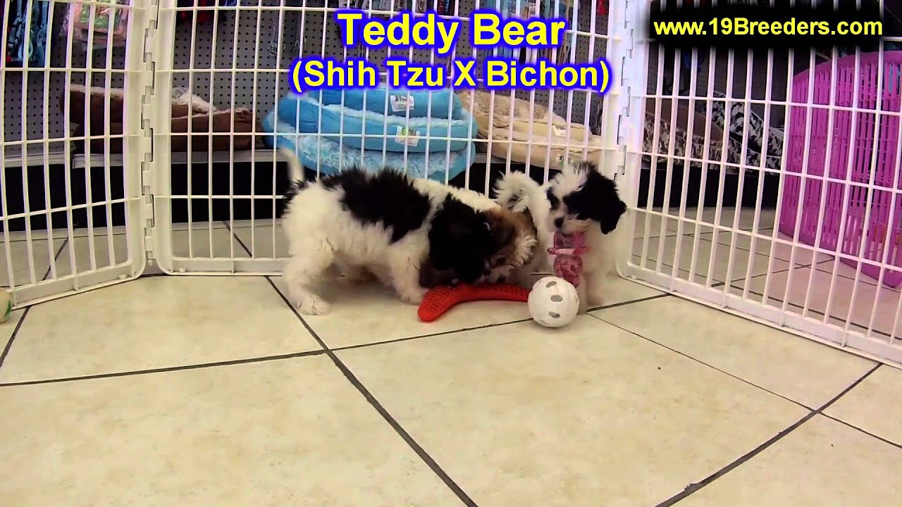 Teddy Bear, Puppies, For, Sale, In, Billings, Montana, MT, Missoula, Great  Falls, Bozeman