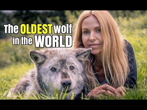Thumbnail: THE OLDEST WOLF IN THE WORLD