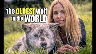THE OLDEST WOLF IN THE WORLD thumbnail