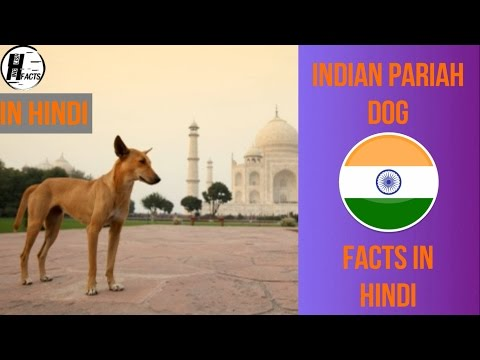 Indian Pariah Dog Facts | Hindi | INDIAN DOG BREEDS | HINGLISH FACTS