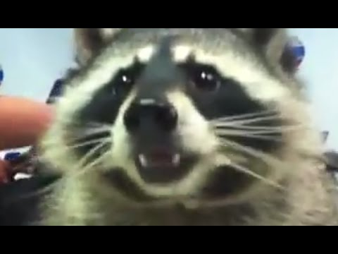 Cute Raccoon Wash Foods Before Eat Youtube
