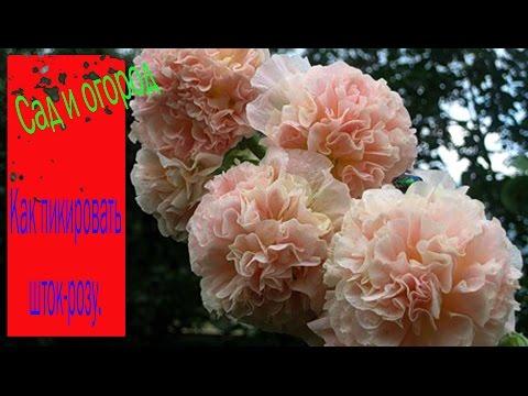 Выращивание шток-розы —