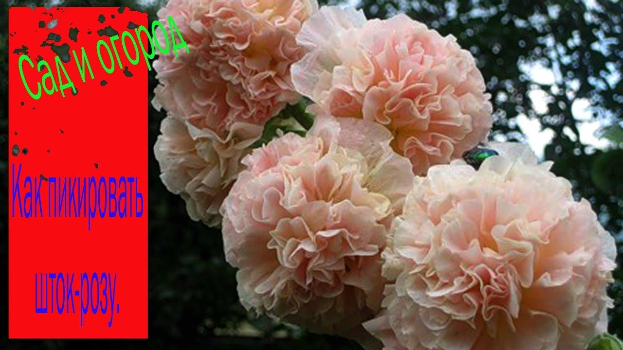 цветы фото шток роза