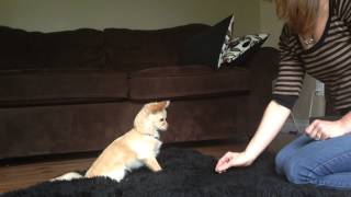 "Chihuahua ""chloe"" Puppy Training.  Chloe Doing Tricks: Sit, Lay Down, Roll Over, Leave It, High Five"