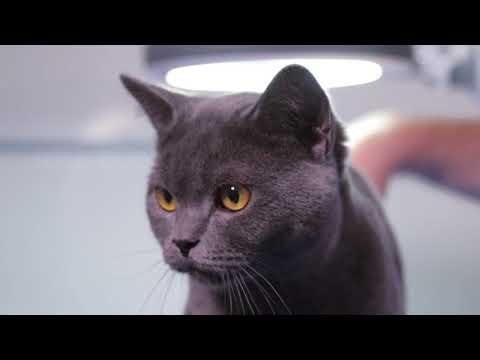 Облысение ушей у кошек -