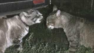 CATS fighting cats talking кошки ругаются