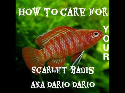 How To Care For Your Scarlet Badis aka Dario Dario