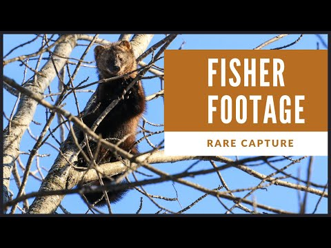 Rare Daytime Footage Of The Elusive Fisher