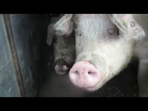 From pig to bacon (5 min documentary)