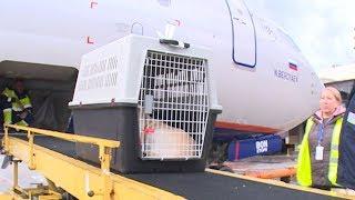 Собаки учатся летать: как происходит посадка на борт, для животных в аэропорту Сочи