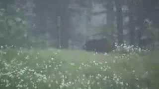 Grizzly Bear Kills Moose