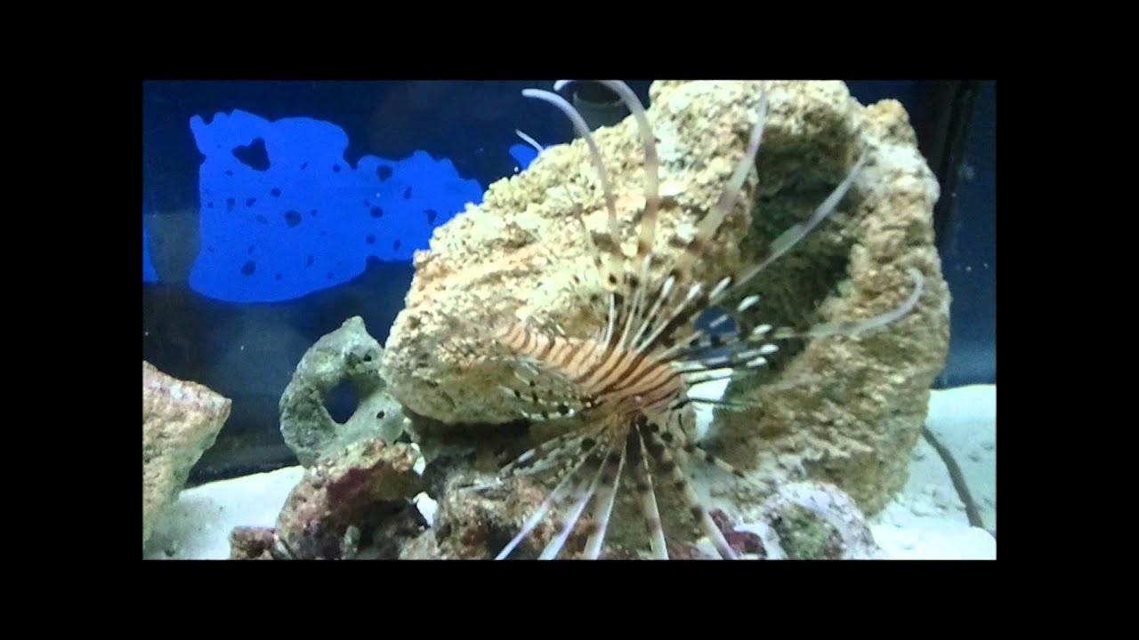 55 Gallon Salt Water Setup.. Lion Fish, Puffer Fish, Star ...