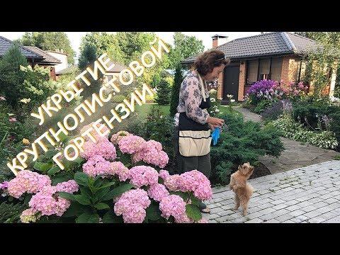 видео: Укрытие Крупнолистовой Гортензии / Сад Людмилы Кудасовой