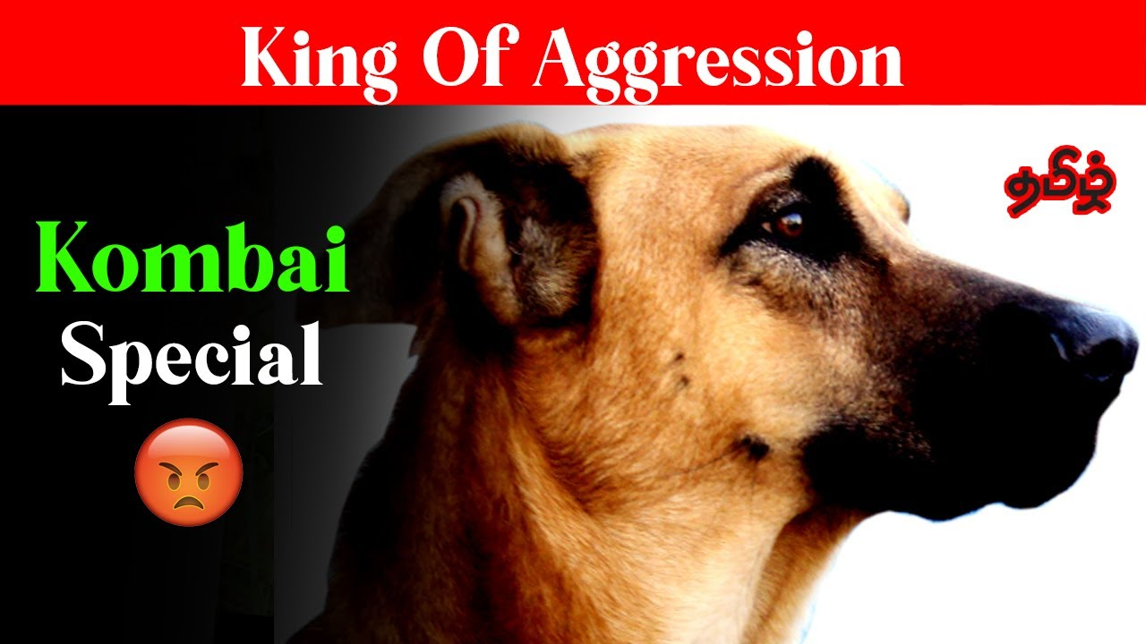 Kombai Dog | கோம்பை The Aggression  King Special
