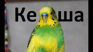 Говорящий попугай Волнистый попугайчик Кеша Видео для детей