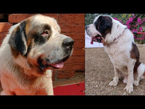 Saint Bernard Dog Information