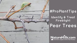 #ProPlantTips Identify & Treat Fireblight | Pear Trees