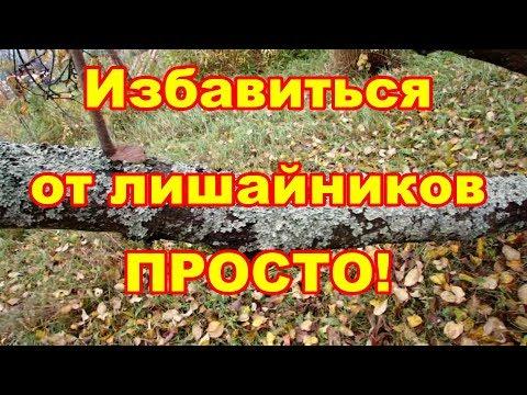 Удалять лишайники с деревьев надо или нет и как это сделать лучше,обсуждаем в этом видео