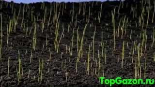 Посевной газон(Посев семян газонной травы http://topgazon.ru., 2013-04-29T19:59:37.000Z)