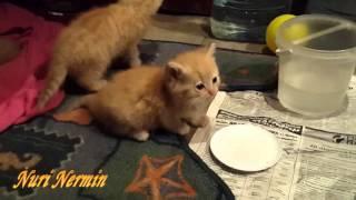 Мама кошка и ее маленькие котята (Персидская)