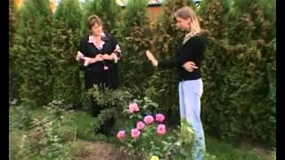 Заболевания роз. Как избежать.(Заболевания роз. Как избежать. Что делать,если розы все таки заболели, возбудители роз, розы и тля, розы и..., 2012-06-28T08:39:51.000Z)