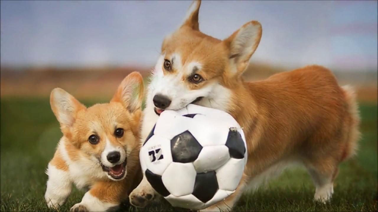 Объявления. Собаки, щенки вельш корги пемброк, цены, торговля, фото, kартинки, продажа.
