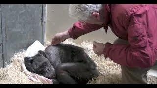 説明 59歳のチンパンジーの雌、ママはヨーロッパで飼育されている中でも...