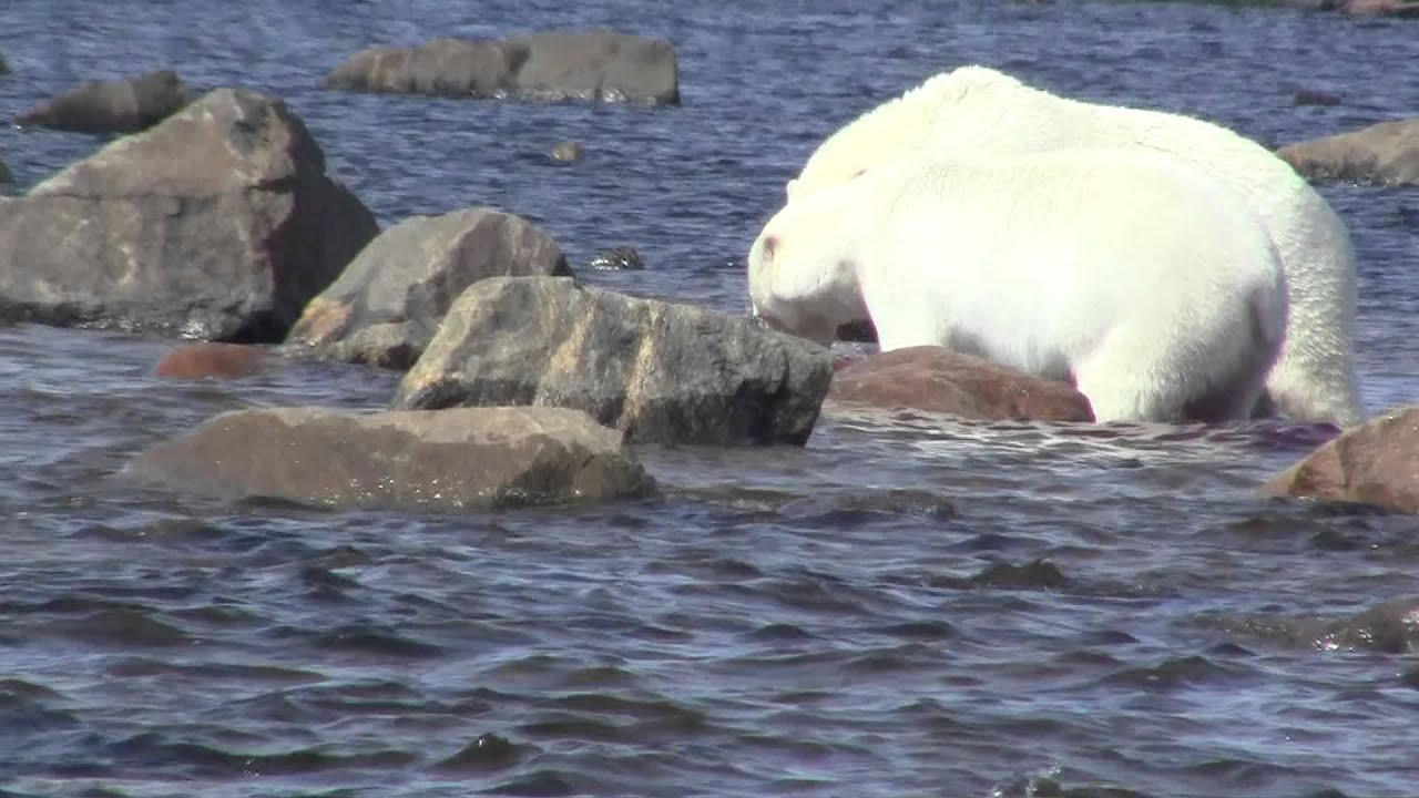 polar bear eating baby whale in the hudson bay pt 2