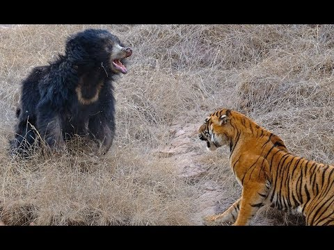 Tigers kill bear - Tigers attack wild boar and deer - Tiger vs lion easy fight! Animals attack