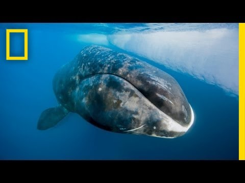 Catching a 200-Year-Old Whale | Nat Geo Live