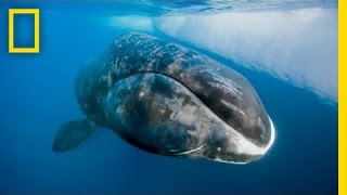 National Geographic Live! - Catching a 200-Year-Old Whale