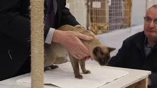 BCCNZ Cat Show 2021  West Melton.  Soxndots Mocha Choca Desire