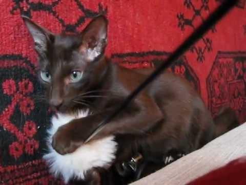 Oriental longhair kitten Julius