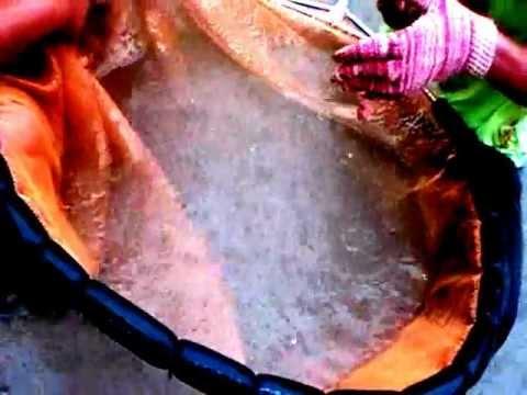 Arowana fish - removing babies from male arowana mouth