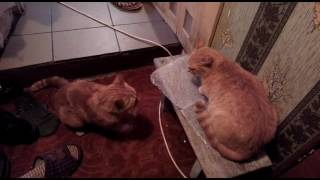 кошки дерутся собаке лучше не влезать прикол