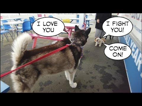 Little Dog trys to take on a Husky | Very Funny