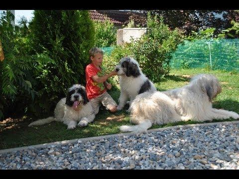 Ciobănesc Românesc Mioritic / Romanian Mioritic Shepherd Dog