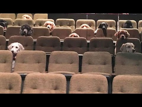 Ron And JP - Canadian Service Dogs Sit Nicely In Movie Theater To Watch Billy Elliott