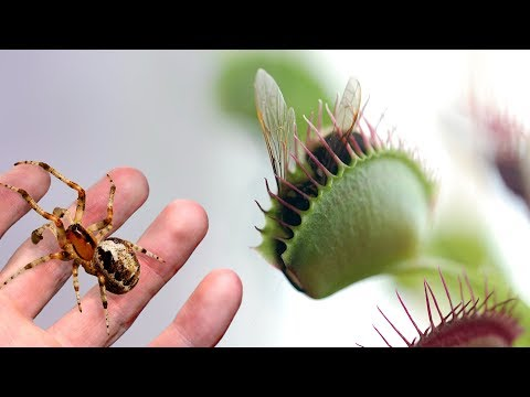 A Large Venus Flytrap VS a Spider