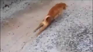 Cachorro finge não andar